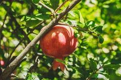 生长在树的石榴 新年的标志在以色列 免版税库存图片