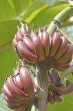 生长在树的红色香蕉的联盟 免版税库存照片