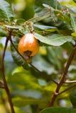 生长在树的腰果 免版税库存图片