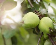 生长在树的苹果计算机在庭院里 在分支的苹果 图库摄影