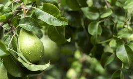 生长在树的许多成熟绿色梨,有用的秋天结果实 免版税库存图片