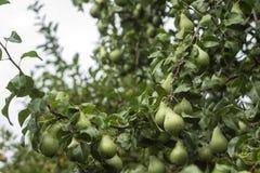 生长在树的许多成熟绿色梨,有用的秋天结果实 库存照片