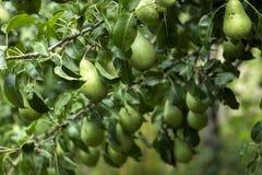 生长在树的许多成熟绿色梨,有用的秋天结果实 免版税库存照片