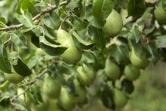 生长在树的许多成熟绿色梨,有用的秋天结果实 库存图片
