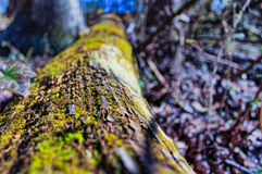 生长在树的青苔 免版税库存图片