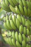 生长在树的绿色香蕉 免版税库存照片