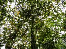 生长在格子附近的树木天棚 免版税库存照片