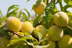 生长在桃树的桃子 免版税库存图片