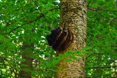 生长在桦树的Chaga蘑菇 库存照片
