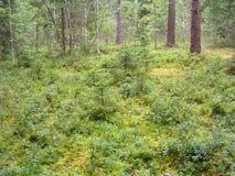生长在森林地板上的蓝莓植物 免版税库存照片