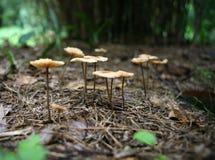 生长在森林地板外面的黄色蘑菇 库存照片