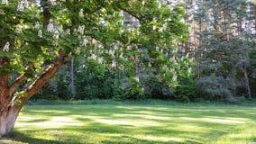 生长在森林的开花的栗树 免版税库存图片