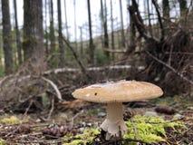 生长在森林的狂放的蘑菇 免版税图库摄影