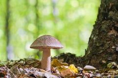 生长在森林的美丽的棕色蘑菇 可食的胭脂fu 库存照片