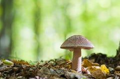 生长在森林的美丽的棕色蘑菇 可食的胭脂fu 免版税图库摄影