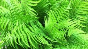 生长在森林的蕨 绿色自然 新鲜,绿色和硬羊齿植物叶状体 r 股票录像