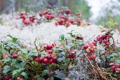 生长在森林的Cowberryes 免版税库存图片