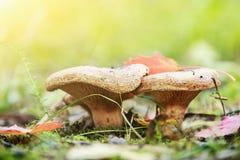 生长在森林边缘的Paxillus蘑菇 库存照片