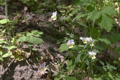 生长在森林里的一束白色紫罗兰 库存图片