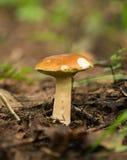 生长在森林里的可食的牛肝菌蕈类蘑菇 免版税库存照片