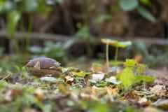 生长在森林里的可食的蘑菇 库存图片