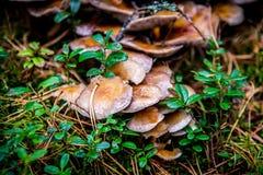 生长在森林里的蘑菇堆  免版税库存照片
