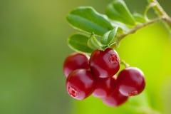 生长在森林里的越橘成熟莓果  免版税库存图片