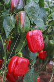 生长在模仿种植园的红色辣椒粉 库存图片
