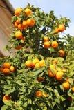 生长在橙树的新鲜的桔子在马略卡 免版税库存图片