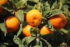 生长在橙树的新鲜的桔子在马略卡 免版税库存照片