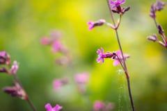 生长在欧洲森林里的狂放的gillyflowers 库存图片