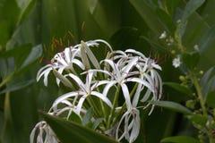 生长在毛伊的热带白百合特写镜头在夏威夷 库存图片