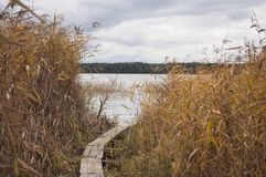 生长在水中和在湖银行的五颜六色的芦苇秋天特写镜头  免版税库存照片