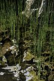 生长在水中的植物在春天 图库摄影