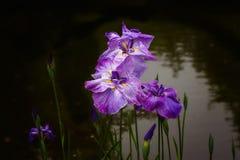 生长在池塘的紫色虹膜 免版税库存图片