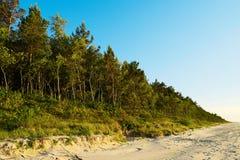 生长在沙丘的松林在波儿地克的海岸苏格兰语或苏格兰松树松属sylvestris树在常青具球果森林里 免版税库存图片