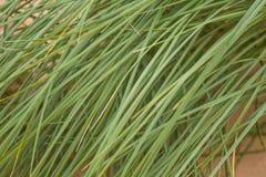 生长在沙子的一棵绿色海边草 在风的美丽的海滩植物群 免版税库存照片
