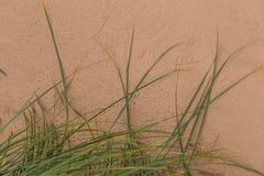 生长在沙子的一棵绿色海边草 在风的美丽的海滩植物群 图库摄影