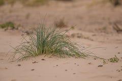生长在沙子的一棵绿色海边草 在风的美丽的海滩植物群 库存图片