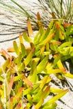生长在沙子的多汁植物在海滩 库存照片