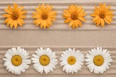 生长在沙子的白色和黄色雏菊两条线  库存图片