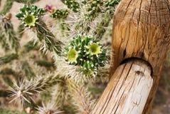 生长在沙漠的Cholla仙人掌 库存图片
