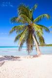 生长在沙滩的可可椰子 库存照片
