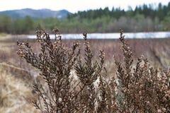 生长在沼泽地的石南花在挪威 免版税库存照片