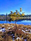 生长在沼泽的杉木由taiga的湖 免版税库存图片