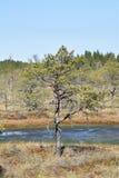 生长在沼泽的杉树近的水 库存照片