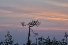 生长在沼泽的树剪影反对落日的背景 在沼泽的异常的弯曲的树杉木 图库摄影