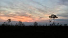生长在沼泽的树剪影反对落日的背景 在沼泽的异常的弯曲的树杉木 免版税库存图片