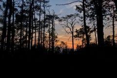 生长在沼泽的树剪影反对落日的背景 在沼泽的异常的弯曲的树杉木 库存图片