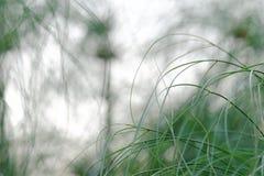 生长在沼泽的热带纸莎草植物的被弄脏的杂乱领域 免版税库存图片